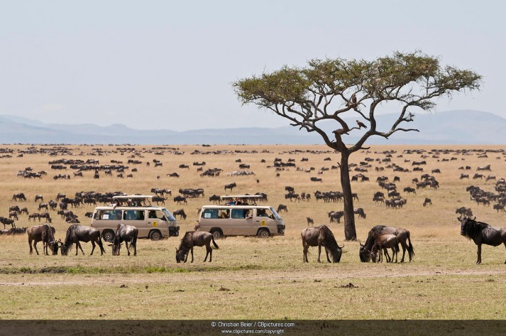 Herd of blue wildebeests (Connochaetes taurinus) with two safari